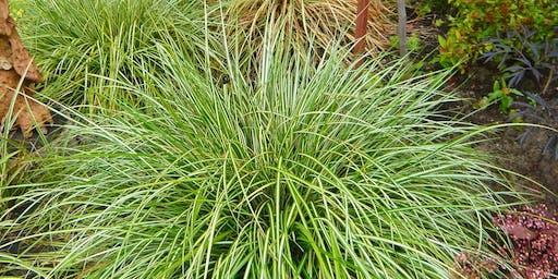 Ornamental Grasses - CH