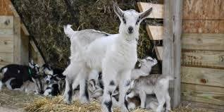 Goats and happy hour wine and cheese tasting! What could be better?