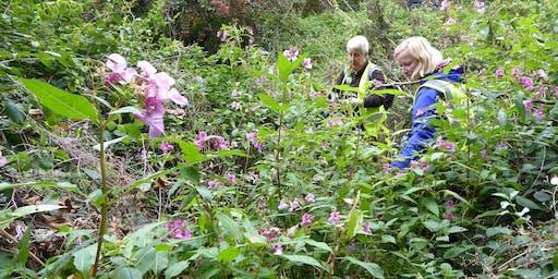 Himalayan balsam pulling task day, Perth