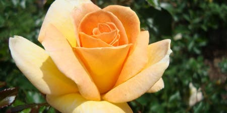 How to Root a Rose