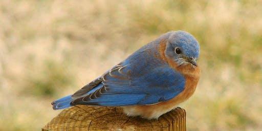 Attracting Bluebirds to The Garden