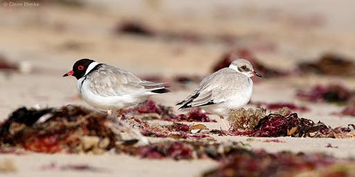 Calling all Plover Lovers! Come and learn about the life of a Hooded Plover