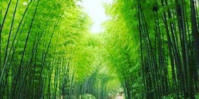 La coltivazione del bambù a scopo industriale