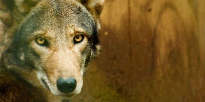 Feed the Endangered Red Wolves