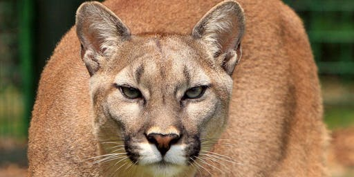 Mountain Lions!