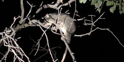 Possum Night Stalk