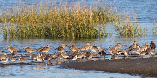 Winter Shorebirds on Harbor Island