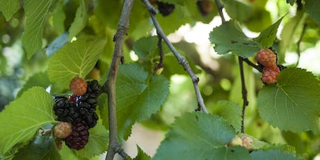 Midweek Mulberries: end of season foraging tickets