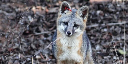 Fox Stories: Indicators that Fox are in Your Area