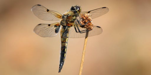 Discover Dragonflies at Fairburn Ings