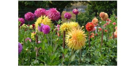 Pybus University: Putting Your Dahlias to Bed tickets