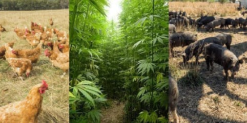 Pigs, Poultry, Pest Plants and Hemp - Biosecurity Basics