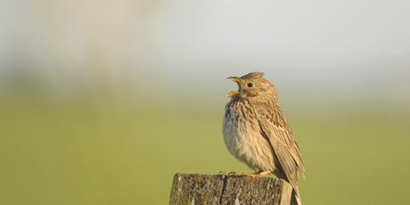 Corn Bunting in the Community walk tickets
