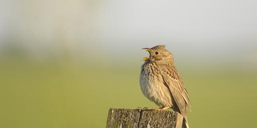 Corn Bunting in the Community walk