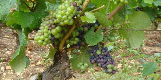 Putting Down Roots: Classic Grapes Abroad  - Wine Tasting