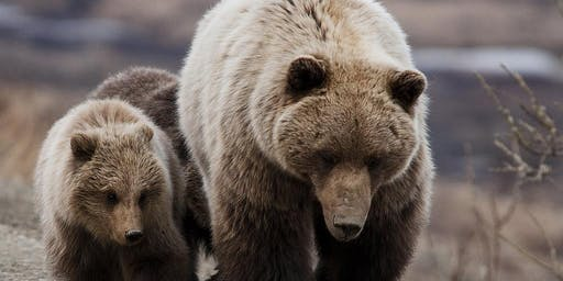 Grizzly Bear Movie Night & Discussion in Chelan!
