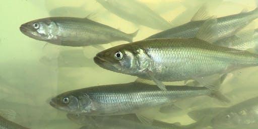 NaturNah: Der Stint – Ein Fisch und sein Fluss