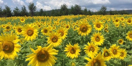 Second Mountain Sunflowers Cut your own flowers $5.00 a bag
