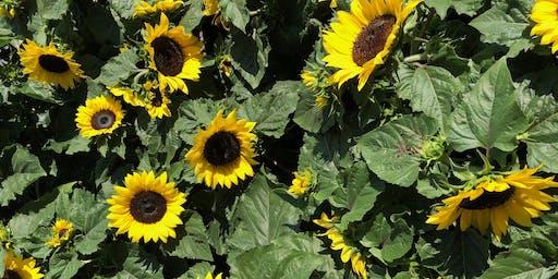 Newport Sunflower Festival - World Record Attempt!
