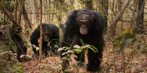 Wilde Dynastien – Revolte der Schimpansen