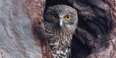 Powerful Owl Walk and Talk