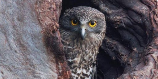 Powerful Owl Walk and Talk