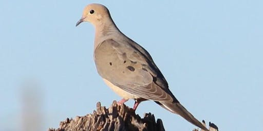 Stewards of The Wild Dove Hunt  (9.8.19)