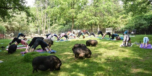 Yoga with Pigs with Liz September