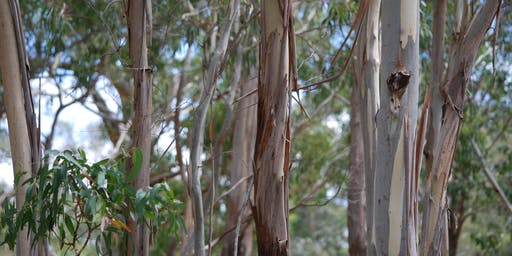 Eucalyptus ID workshop - Black Hill Reserve