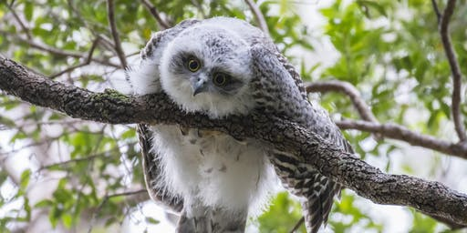 BirdLife Southern Queensland Owl workshop & training