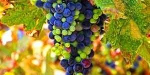 Bordeaux Varietals