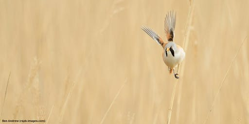 RSPB Bearded Reedling and Breakfast Walk