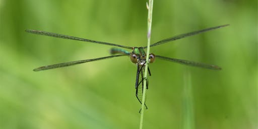 Dragonfly Walk and ID Skills