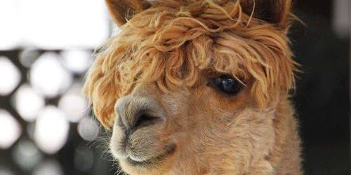 5th Annual Alpaca Open House