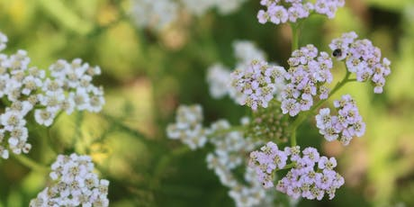 Herbal Materia Medica Classes - The Mint Family tickets
