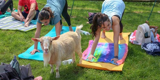 Goat Yoga at The Saratoga Winery September