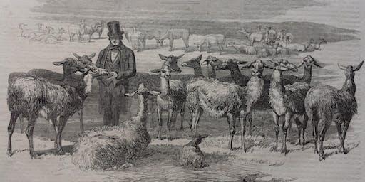 Mr Gee's Llamas in Acton - Linda Davies