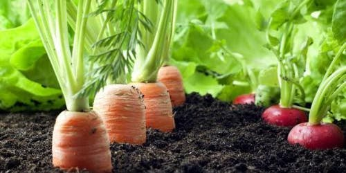 Growing Fall Crops: How to grow leafy greens & root crops!