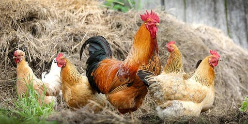 Green Living Workshop: Keeping Backyard Chooks at Tuggerah Library