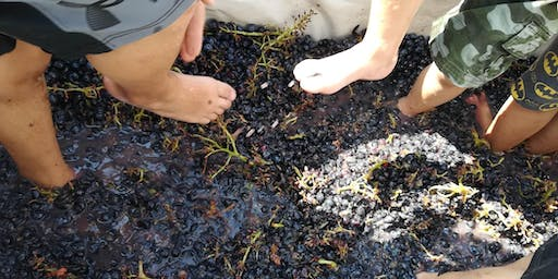 Grape Harvest, Grape Stomping and dinner on the Berici Hills of Vicenza