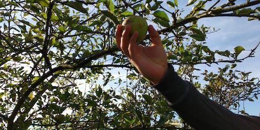 Apple Harvest in Mill Hill II (London)