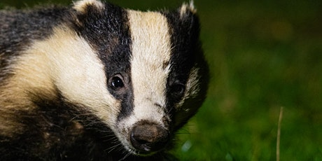 Haweswater Badger Hide: Guided Watches tickets