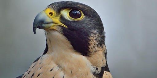 Falcon Fascination