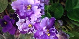 African Violet  Display and Sale