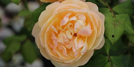 The 15th International Heritage Rose Conference tickets
