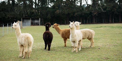 Meet, Feed & Play with Friendly Alpacas, Goats, Pig & Ponies