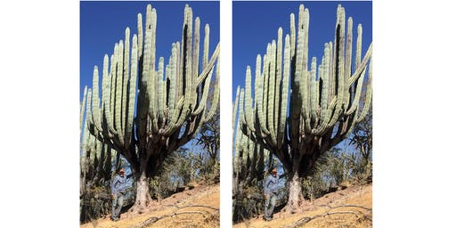Coping with water scarcity: Lessons from giant cacti of the Americas