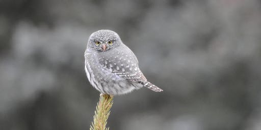Owls of Northern Colorado