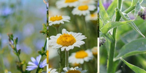 Herbal Materia Medica Classes - The Mint Family