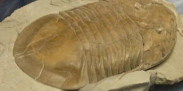 The Story of the World's Largest Trilobite